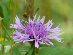 Greater Knapweed at Sun Rising