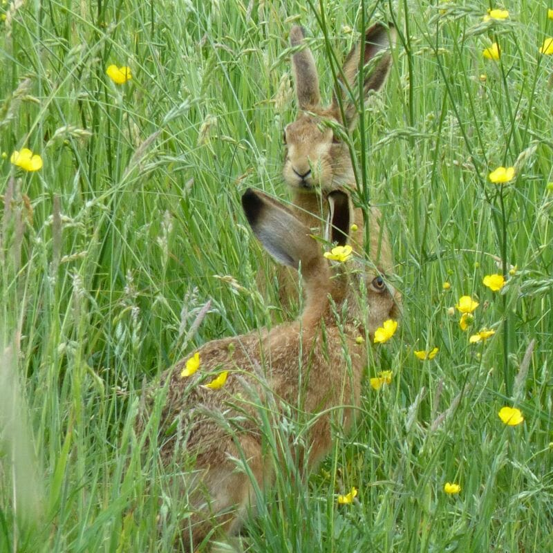 Hares in the Buttercups at Sun Rising