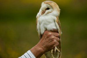 Barn Owl at Sun Rising