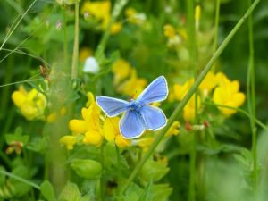 Common Blue Butterfly on Birdsfoot Trefoil at Sun Rising