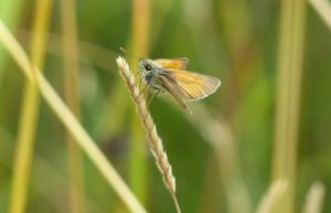 Small Skipper on Crested Dogstail at Sun Rising