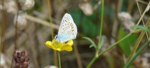 Common Blue Butterfly on Buttercup at Sun Rising