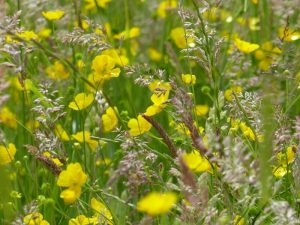 Grasses and Buttercups at Sun Rising