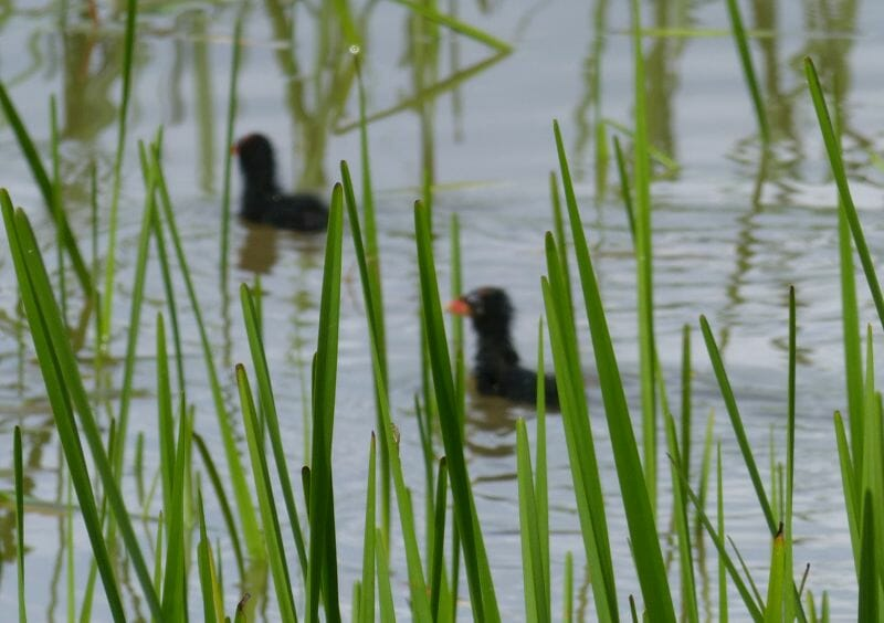 Moorhen Chicks on the Pond at Sun Rising