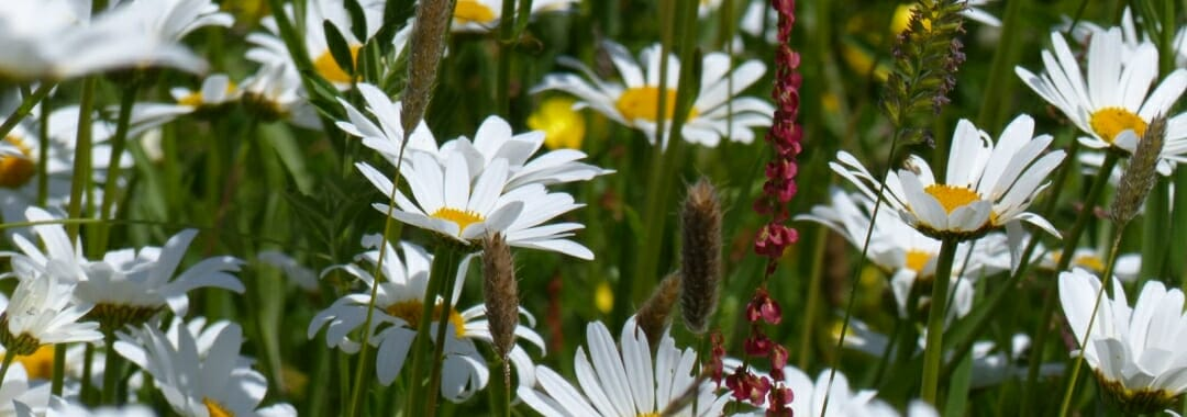 Summer meadow with oxeye daisies.