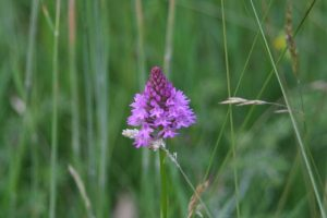 Pyramidal Orchid at Sun Rising