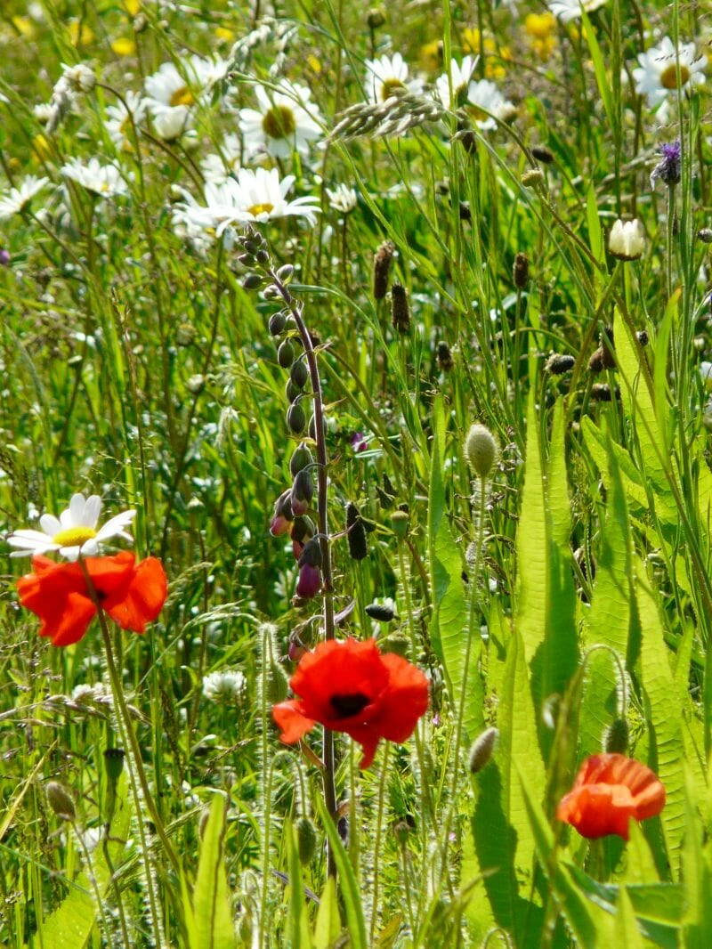 Poppies and other Wildflowers at Sun Rising