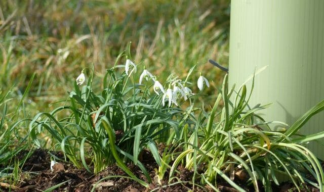 Snowdrops in February Sunshine at Sun Rising Natural Burial Ground and Nature Reserve
