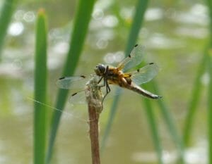 Four-spotted Chaser Dragonfly on a reed in the pond at Sun Rising.