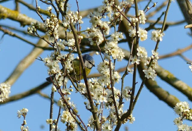 Blue Tit in Blackthorn Blossom