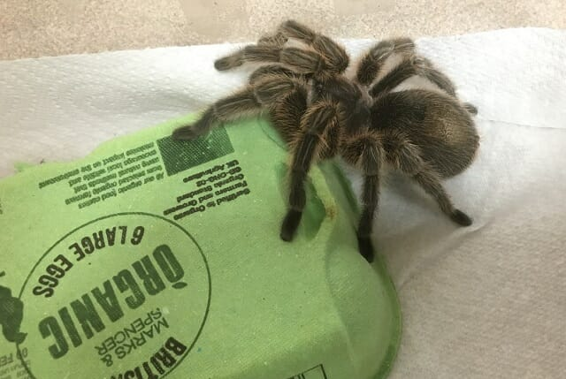 Tarantuala brought by Carl Portman to Sun Rising Nature Talk on Spiders