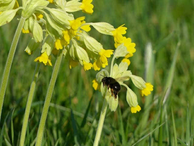 Cowslips and Hairyfooted Flower Bee