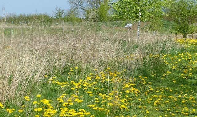 Dandelions along the Path and Path Edge