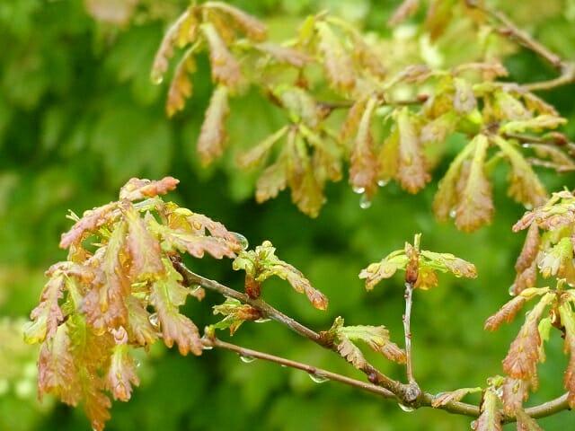 First Oak Leaves