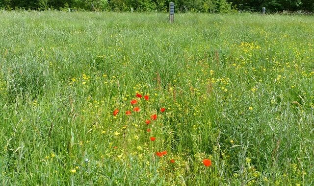 Yellow Rattle and Poppies in Betty's Meadow