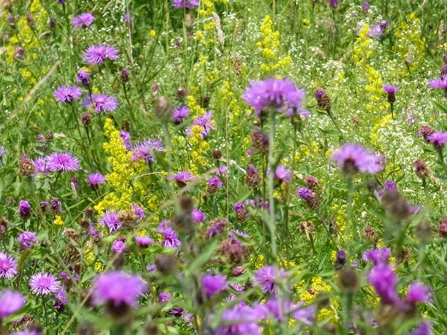 Lammas Meadow Flowers