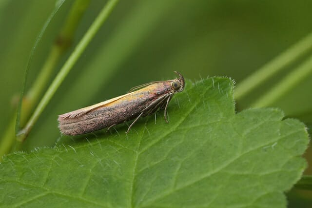 Rosy-striped Knot-horn (Oncocera semirubella) at Sun Rising