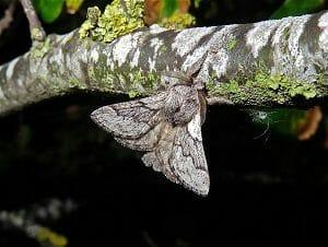 Pale Eggar Moth at Sun Rising