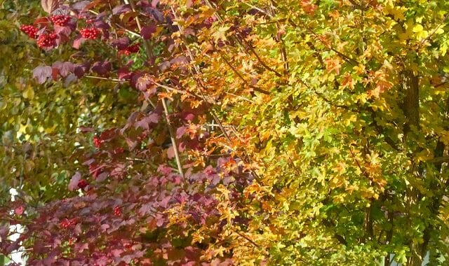 Guelder Rose and Field Maple in Autumn Colours