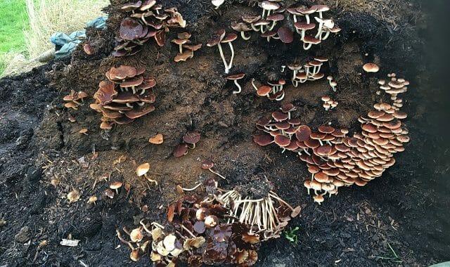 Mushrooms on Composted Bark