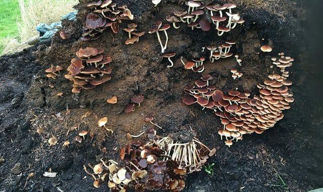 Mushrooms on Composted Bark