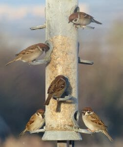 Tree Sparrows at Sun Rising