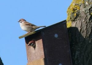 Tree Sparrows on Nestbox at Sun Rising