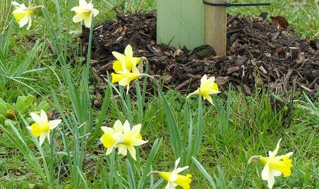 Wild Daffodils around a Mulched Sapling