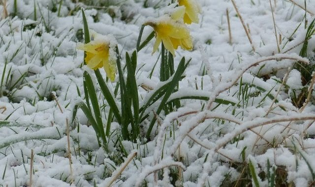 Wild Daffodils in the Snow
