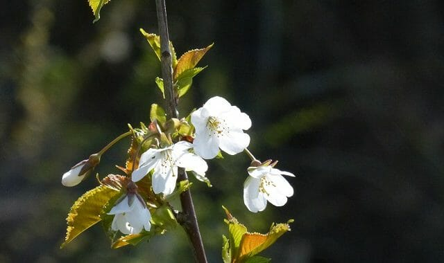 Wild Cherry Blossom at Sun Rising