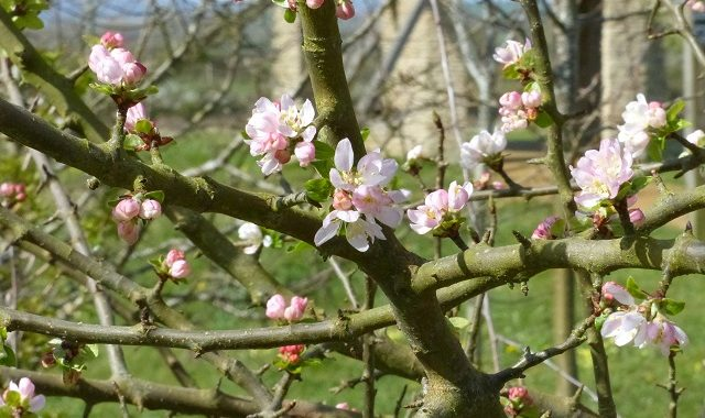 Crab Apple Blossom in Norma's Wood