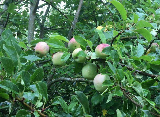 Rain-wet Apples